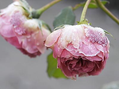 Schnittblumen aus dem eigenen Garten lange haltbar machen