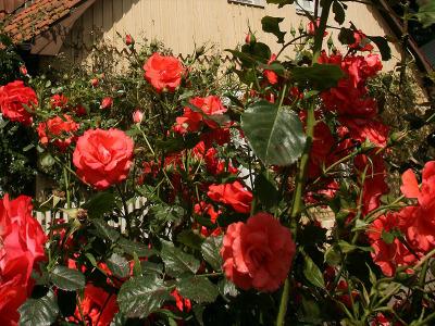 Rosen mit Topfballen pflanzen