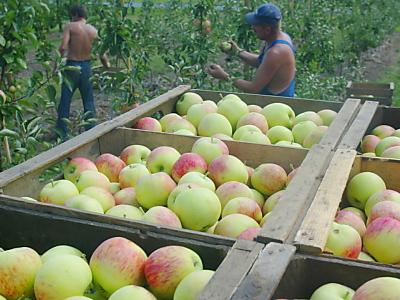 Apfelbäume mehrmals abernten