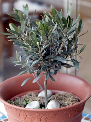 Oliven auf der Terrasse ernten