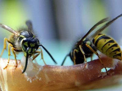 Das Geschäft mit der Wespenangst brummt