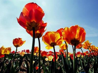 Frische Tulpen quietschen