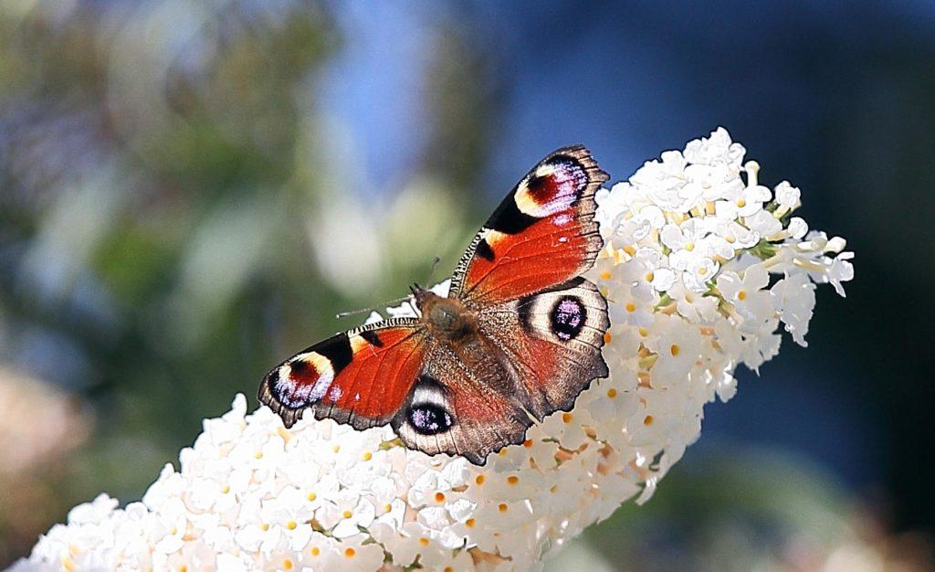 Pfauenauge Schmetterling auf Flieder