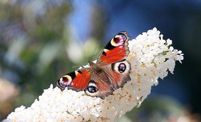Pfauenauge Schmetterlinge auf Flieder