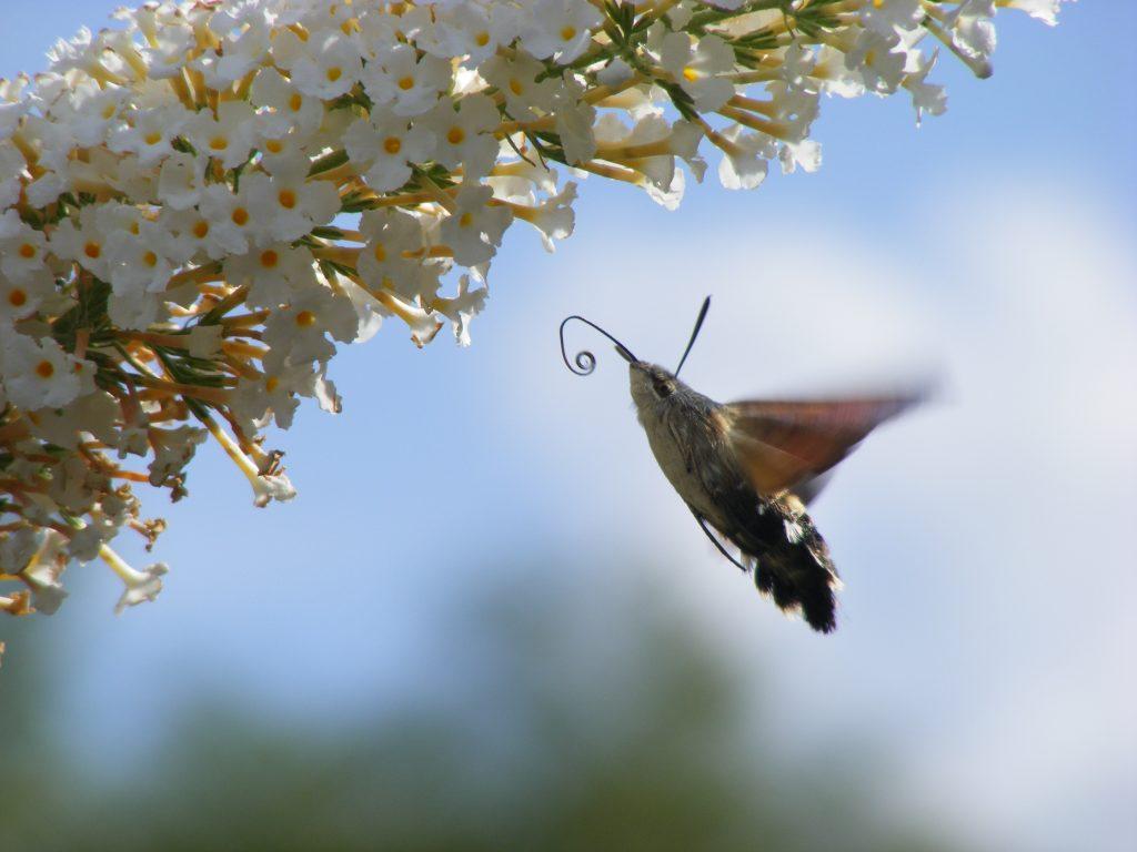 Taubenschwänzchen Schmetterling