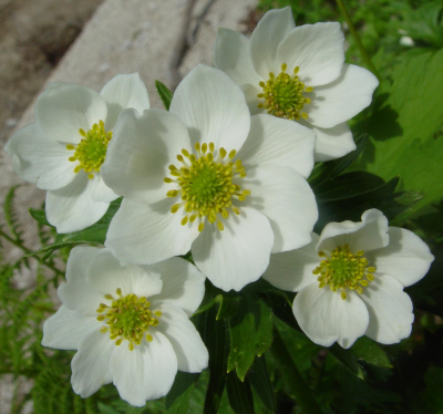 anemonen windroeschen
