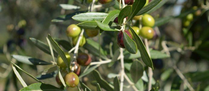buchtipp oliven