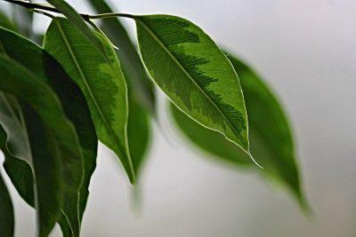 ficus benjamina pflanze