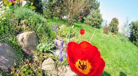 Steingarten Mohnblume