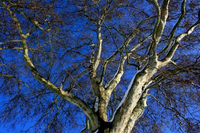 plantane als Formbaum