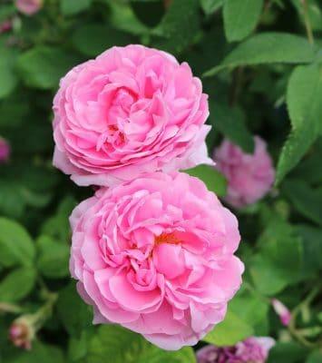 rose pflanzen