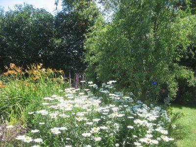 staudenpflanzen margeriten