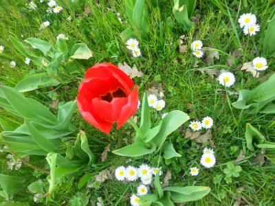 tulpen blüte